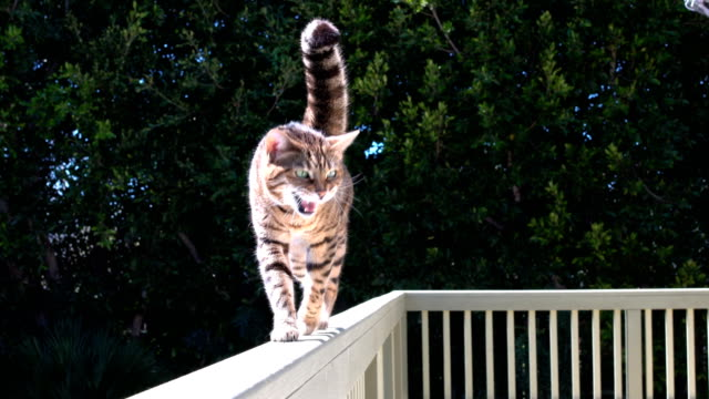 4K Bengal cat walking - stock video