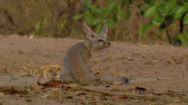 bengal fox / india - sitting stock videos & royalty-free footage