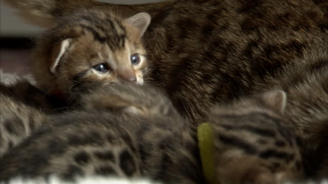 bengal kittens play together. - collar stock videos & royalty-free footage