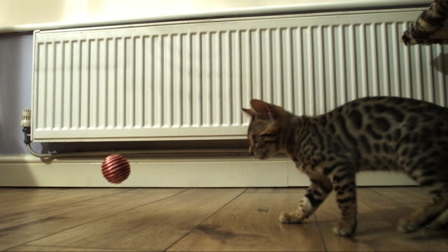 SLOMO PAN MS Bengal pet kitten as ball drops and it and pushes it out of frame