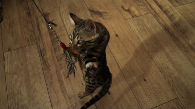 SLOMO HA Bengal pet kitten jumps and clutches at toy trailed over it