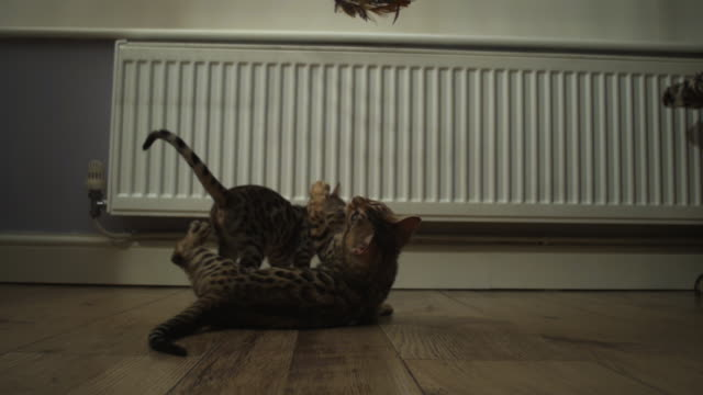 SLOMO Bengal pet kitten jumps and clutches at toy trailed over it