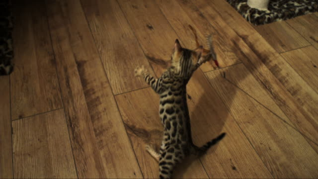 vídeos de stock, filmes e b-roll de slomo ha bengal pet kitten jumps and clutches at toy trailed past it on floor - interior