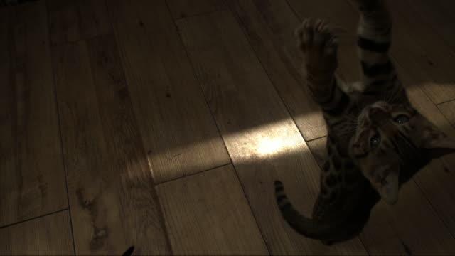slomo ha bengal pet kitten jumps at toy held above it - flooring stock videos & royalty-free footage