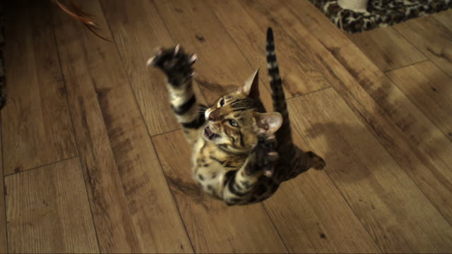slomo ha bengal pet kitten jumps at toy pulled up in front of it - nutztier oder haustier stock-videos und b-roll-filmmaterial