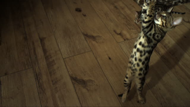 SLOMO HA Bengal pet kitten jumps at toy trailed over it and falls back