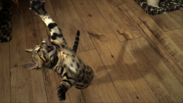 SLOMO HA Bengal pet kitten jumps at toy trailed over it and falls from frame
