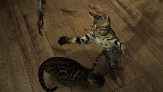 SLOMO HA Bengal pet kitten jumps at toy trailed over it and falls on second kitten
