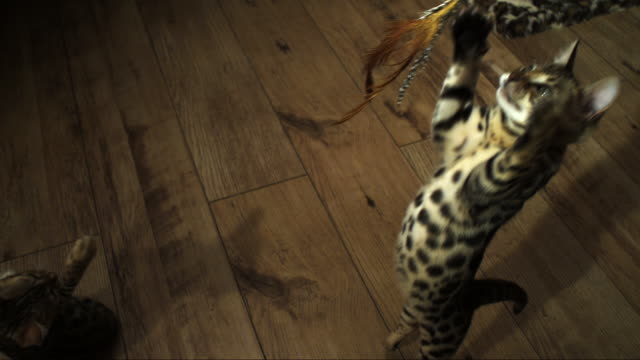 SLOMO HA Bengal pet kitten jumps at toy trailed over it