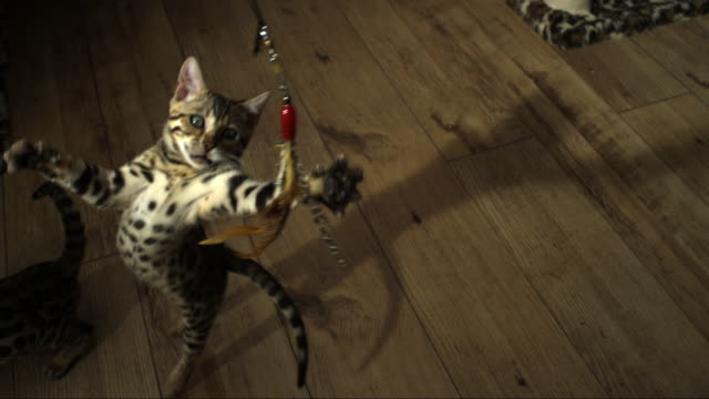 slomo ha bengal pet kitten jumps at toy trailed over it - spielzeug stock-videos und b-roll-filmmaterial