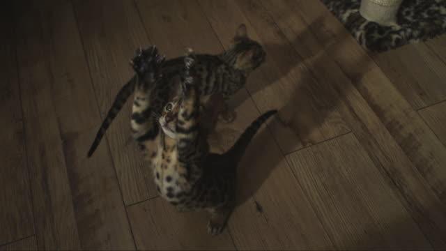 SLOMO HA Bengal pet kitten jumps at toy