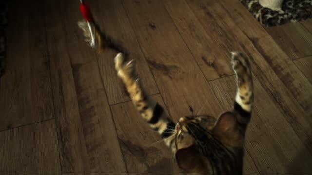 SLOMO HA CU Bengal pet kitten jumps at toy