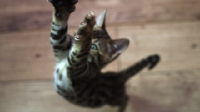 slomo ha ms  bengal pet kitten jumps up to camera with focus on claws - domestic cat stock videos & royalty-free footage