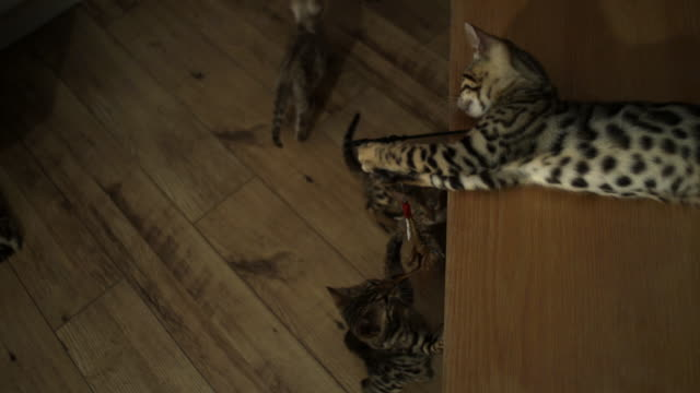SLOMO HA Bengal pet kitten on chair holding lure as other kittens jump up towards it