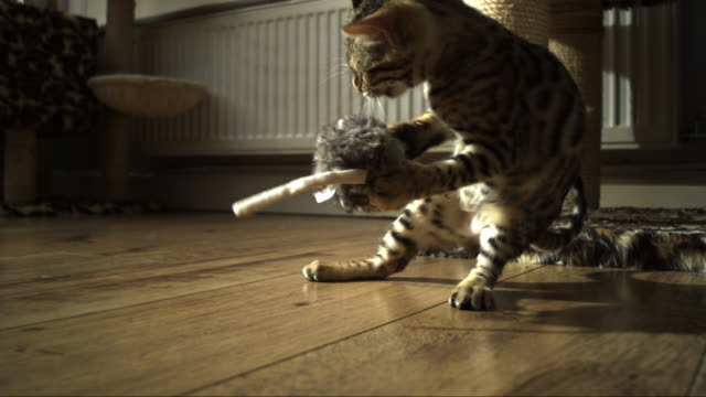 slomo ms bengal pet kitten plays dramatically with toy on floor - nutztier oder haustier stock-videos und b-roll-filmmaterial