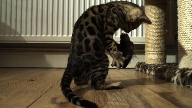 SLOMO MS Bengal pet kitten plays dramatically with toy on floor