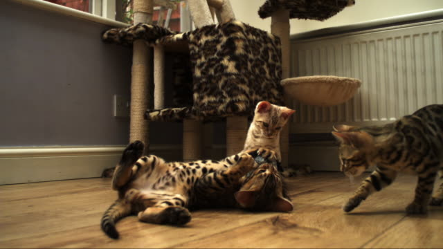 SLOMO Bengal pet kitten plays with toy on floor watched by others