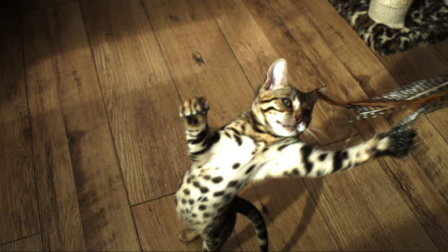 SLOMO HA Bengal pet kitten runs in and jumps at toy trailed over it