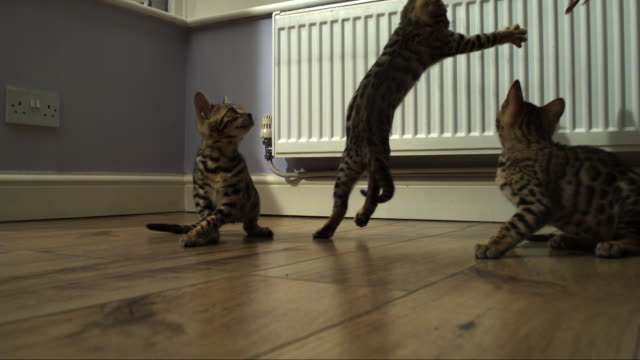 SLOMO 3 Bengal pet kittens as one jumps at toy held above it