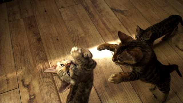 slomo ha 2 bengal pet kittens jump at toy and collide - drei tiere stock-videos und b-roll-filmmaterial