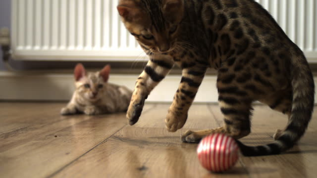 slomo cu 2 bengal pet kittens watch ball rolling past them and jump at it - イングランド南西部点の映像素材/bロール
