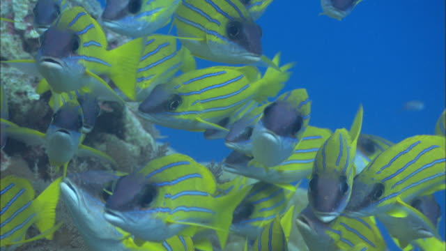 Bengal snappers or blueline, pull of, Aldabra, Indian Ocean