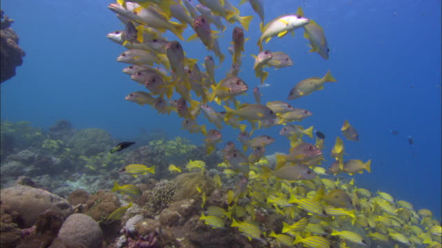 vidéos et rushes de bengal snappers or bluelined, coral reef, underwater, small blue fish, aldabra, indian ocean  - corail cnidaire