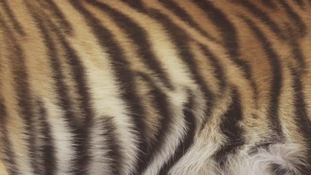 bengal tiger breathe