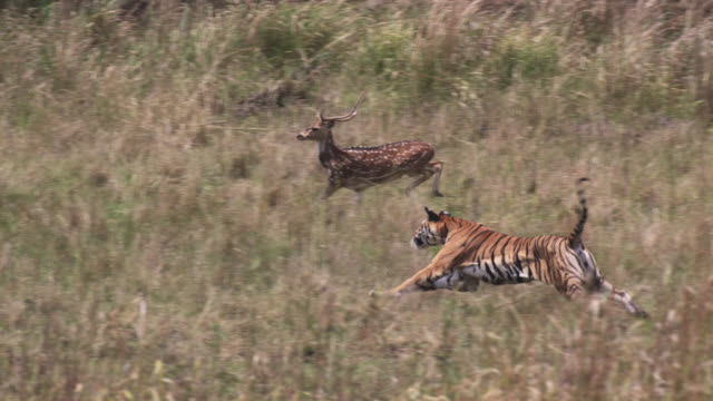 bengal tiger (panthera tigris) chases chital deer prey on grassland, bandhavgarh, india - hunting stock videos & royalty-free footage