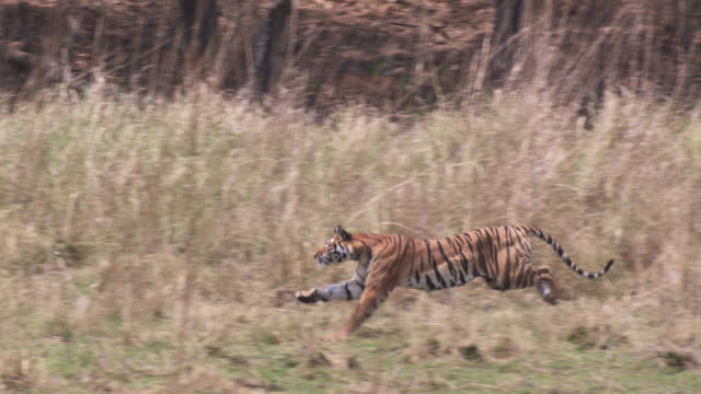 Bengal tiger (Panthera tigris) chases chital deer prey on grassland, Bandhavgarh, India