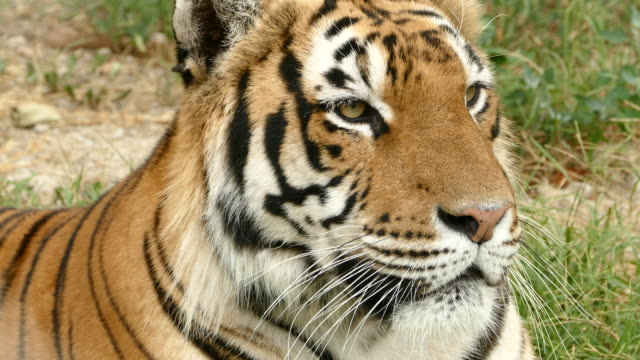 bengal tiger closeup - 4k resolution stock videos & royalty-free footage