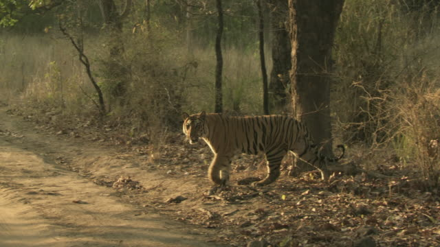 ws pan bengal tiger (panthera tigris tigris) crossing dirt road in front of safari vehicles in bandhavgarh national park / madha pradesh, india - safari india stock videos and b-roll footage