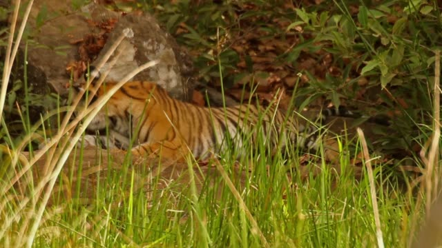 bengal tiger cub eating tree leaves - madhya pradesh stock videos and b-roll footage