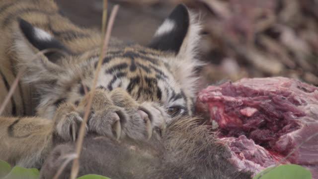 Bengal tiger (Panthera tigris) cub feeds on sambar deer carcass, Bandhavgarh, India