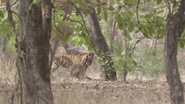 Bengal tiger (Panthera tigris) drags chital deer carcass, Bandhavgarh, India