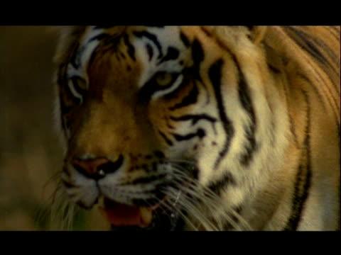 bcu bengal tiger face walking to camera, bannerghata np, india - 動物の色点の映像素材/bロール