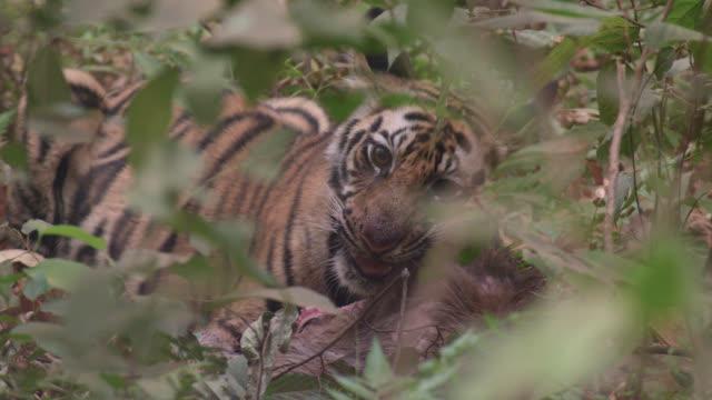 Bengal tiger (Panthera tigris) feeds on sambar deer carcass, Bandhavgarh, India