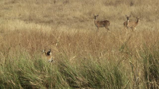 ws bengal tiger (panthera tigris tigris) hiding in tall grass, watching chital deer (axis axis) herd / bandhavgarh national park, madha pradesh, india - hunting stock videos & royalty-free footage
