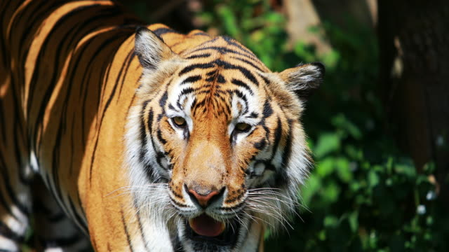 bengal tiger in forest - tiger stock videos & royalty-free footage