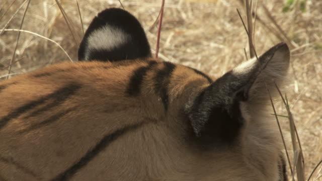 ecu td bengal tiger (panthera tigris tigris) in grass, shaking head / bandhavgarh tiger reserve, madhya pradesh, india - morrhår bildbanksvideor och videomaterial från bakom kulisserna