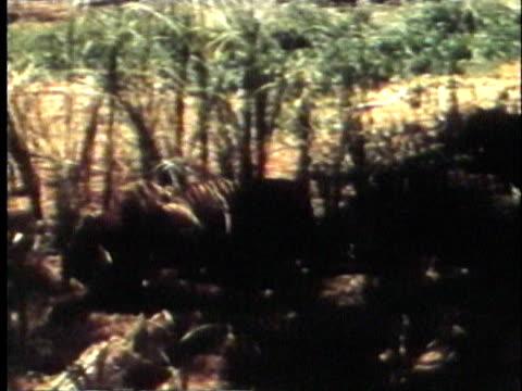 vídeos y material grabado en eventos de stock de 1957 pan ws ts bengal tiger in jungle / india / audio - 1957