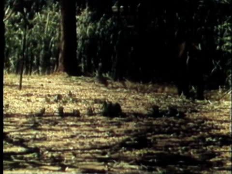 vídeos y material grabado en eventos de stock de 1957 montage ws ms ts bengal tiger in jungle / india / audio - 1957