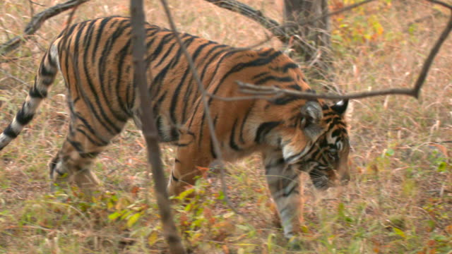 bengal tiger in the forest - wildlife conservation stock videos & royalty-free footage