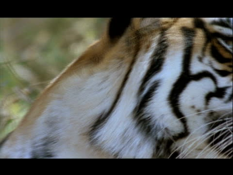 bcu bengal tiger looking to camera, bannerghata np, india - animal head stock videos & royalty-free footage