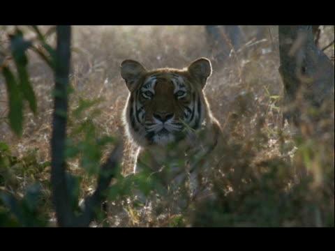 vídeos y material grabado en eventos de stock de cu bengal tiger looking to camera, bannerghata np, india - patrones de colores