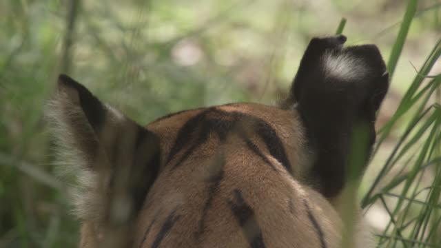 vídeos y material grabado en eventos de stock de bengal tiger (panthera tigris) looks around in forest, bandhavgarh, india - oreja