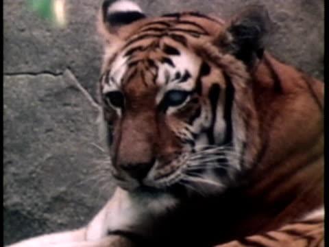 1976 monatge ms bengal tiger lying down; white tiger walking / united states / audio  - zoo stock videos & royalty-free footage