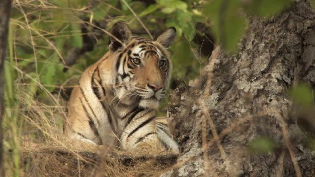 MS Bengal tiger (Panthera tigris tigris) lying in forest in Bandhavgarh National Park / Madha Pradesh, India