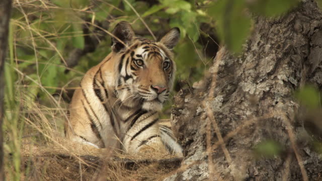 ms bengal tiger (panthera tigris tigris) lying in forest in bandhavgarh national park / madha pradesh, india - plant bark stock videos and b-roll footage