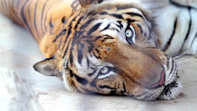 Bengal tiger lying